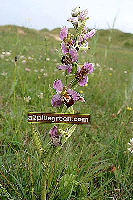 Bee Orchid ganze Pflanze