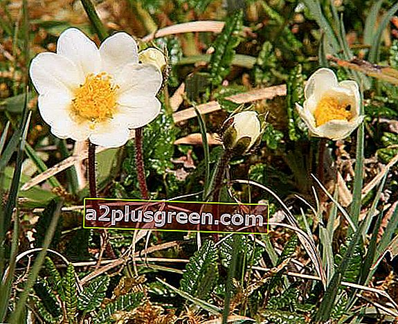 Dryas octopetala, Mountain Avens, in Blüte