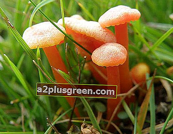 Hygrocybe cantharellus - Becher-Wachskappe