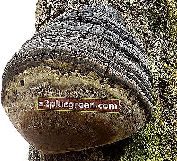 Phellinus igniarius, Willow Bracket, England