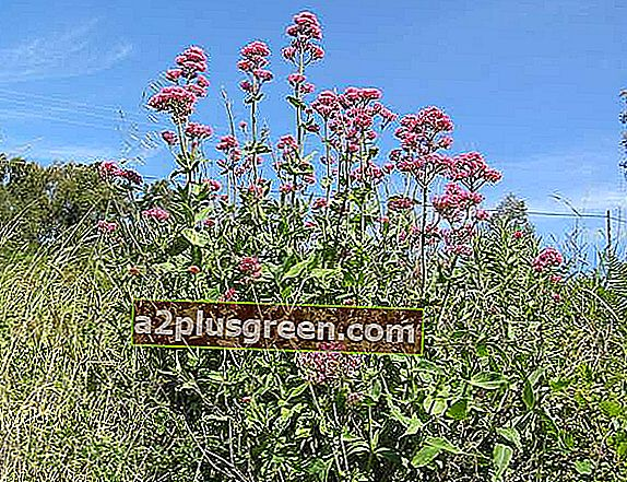 Centranthus ruber, Pembrokeshire, Wales