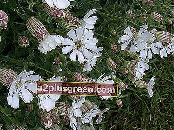 Sea Campion, Pembrokeshire