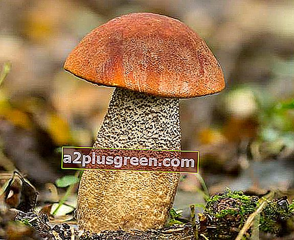 Leccinum aurantiacum, Orange Oak Bolete, New Forest, Hampshire Großbritannien