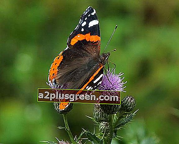 Red Admiral Schmetterling auf Creeping Thistle Blumenkopf