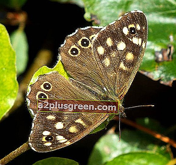 Speckled Wood Schmetterling