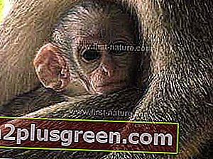 Barbados Green Monkey Baby
