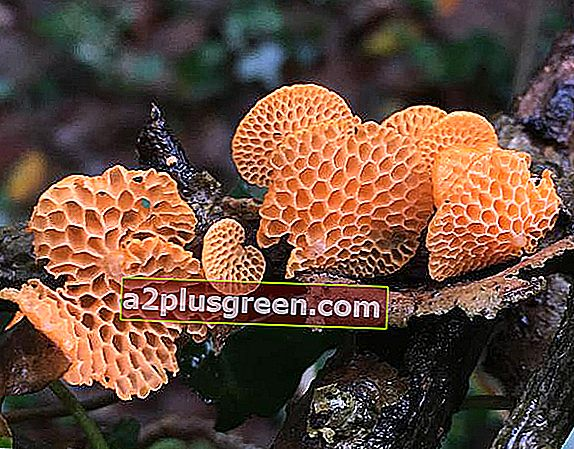 Favolaschia calocera, Orange Porecap, Cornwall, England