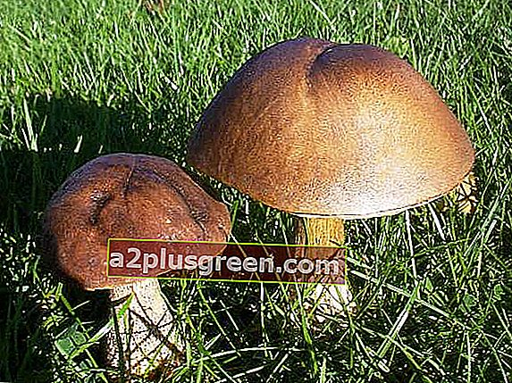 Leccinum scabrum - Brown Birch Bolete, Devon