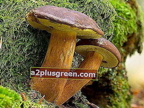 Bucht Boletes, Hampshire UK